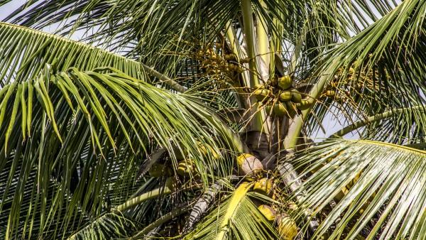 Kuba Palme Kokos